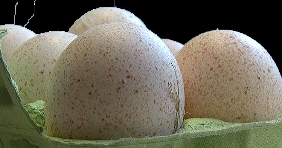 BIO tītara olas